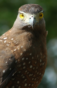 serpent eagle