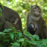 MACAQUE and BABY
